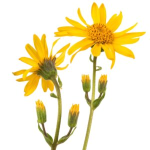 Yellow Arnica flowers